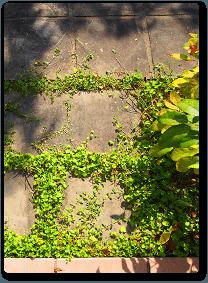 石畳の間から生えるグラウンドカバーのイメージ