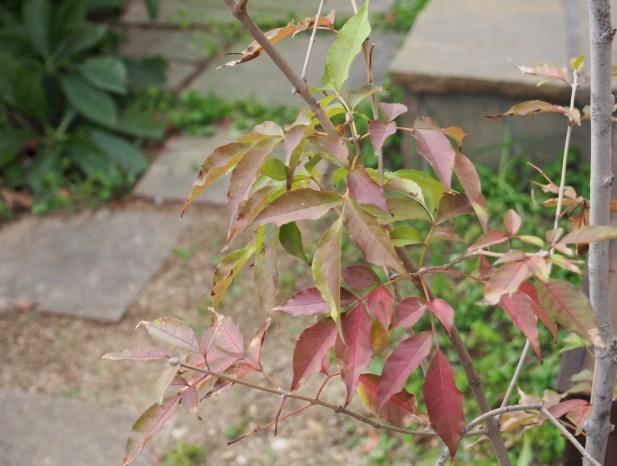 kitanagoya_y10アオダモの紅葉も美しい