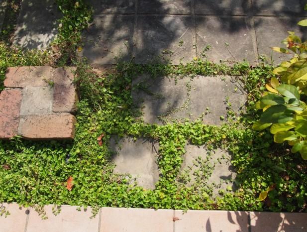 nissin_h4ダイコンドラ、タイム、タツナミソウなどいろいろな種類が絡み合う緑のじゅうたん