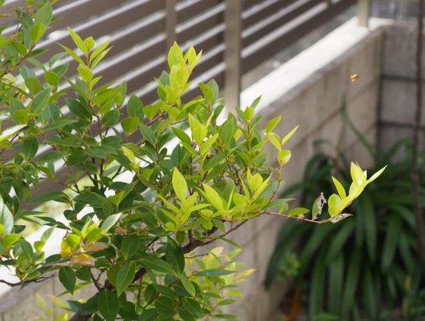 kitanagoya_y9この地方に自生するシャシャンポを明るい庭に取り入れる