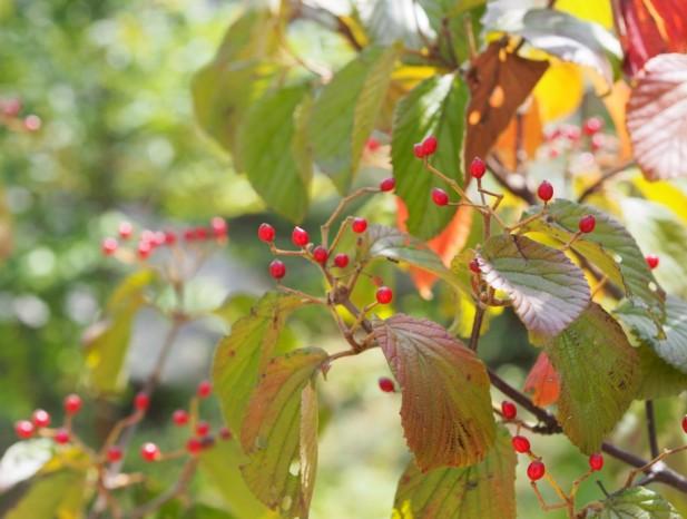 nissin_h8秋にはガマズミの可愛い実と紅葉