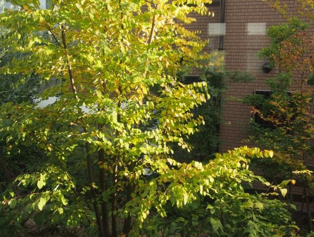 tenpaku_m6リビングから色づき始めたカツラの木を眺める