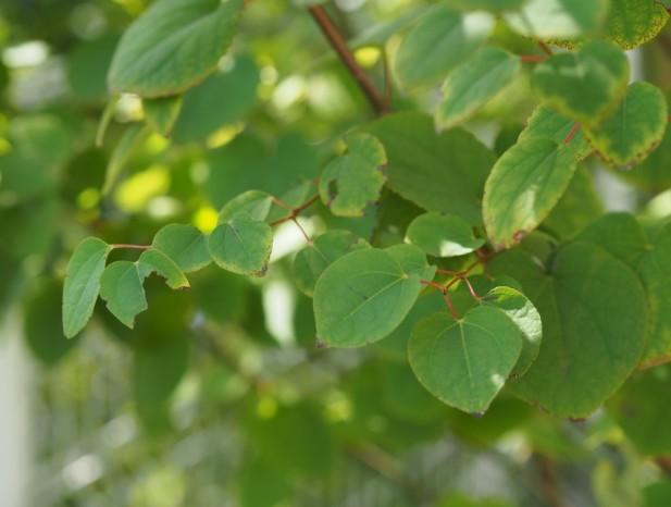 nissin_h9ハート形のカツラの葉