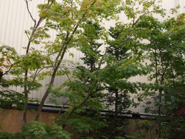 atuta_m2土壁と隣地の壁とに映えるイロハモミジ
