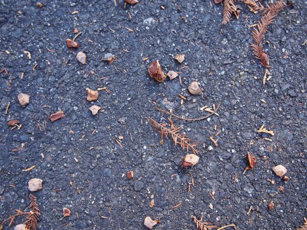 ラクウショウ落ち葉