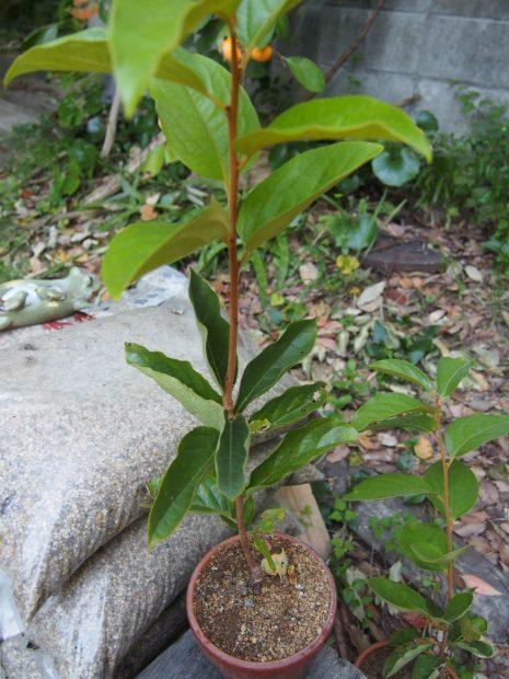柿の接ぎ木苗