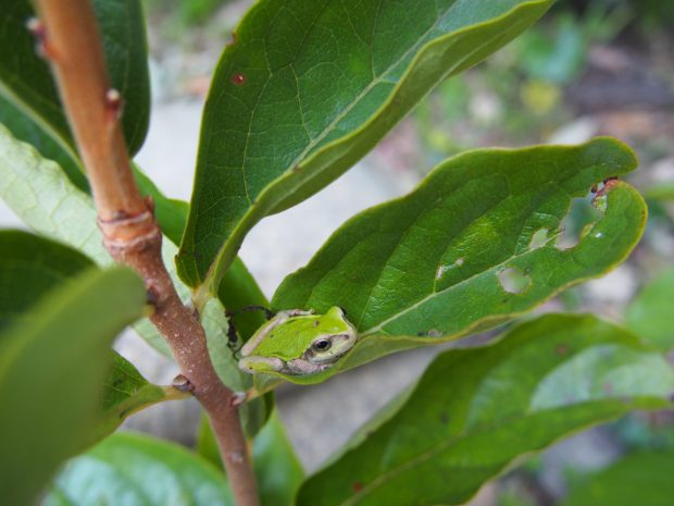柿の木とカエル