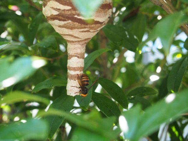 小さいコガタスズメバチ